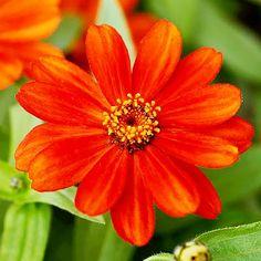 Zinnia Zahara Red flower garden seeds