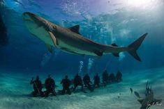 A 12-foot-long female tiger shark shows off her size above a row of SCUBA divers in the Bahamas.