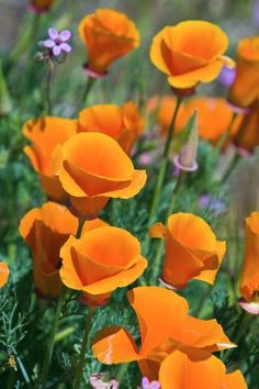 Premium Photographic Print: California Poppies, Antelope Valley, California, USA by Russ Bishop : Orange Flowers, Wild Flowers, Beautiful Flowers, Poppy Flowers, Exotic Flowers, Yellow Roses, Pink Roses, Foto Nature, Flower Pictures