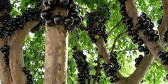 Cây Nho Thân Gõ thích hợp trồng Sân vườn, cho quả rất ngon