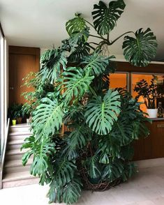 Gente que luxo essa Monstera desse tamanho dentro de casa!And I thought my monstera was big.Types of Houseplant Bugs and Methods to Check Their Infestation Happy Everyone Parisian Apartment Buildings' Entrance Halls Are The Best This One Has Been Th Tropical Garden, Tropical Flowers, Tropical Plants, Hanging Plants, Potted Plants, Succulent Plants, Foliage Plants, Succulents, Decoration Plante