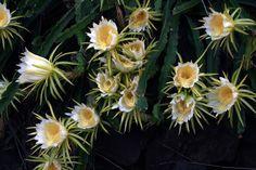 Nome Científico: Hylocereus undatus  Nomes Populares: Rainha-da-noite, Cardo-ananaz, Cato-barse, Dama-da-noite, Flor-da-lua, Pitaia, Pi...