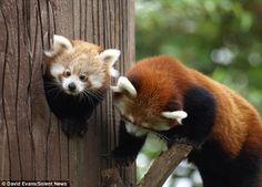 Baby panda with his mum.