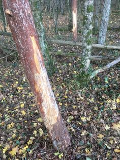 #arbre #frotis cerf #nature #foret