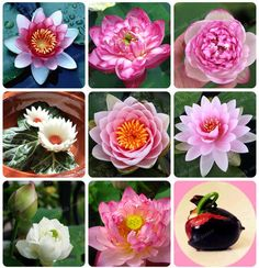 Cheap lily plants, Buy Quality aquatic plants directly from China water lily plant Suppliers: Flower Seeds Bowl Lotus Flower Hydroponic Aquatic Plants Lotus Seeds Perennial Water Lily Plant for Mini Garden Strawberry Hydrangea, Hydrangea Flower, Lotus Flower, Hydroponic Farming, Hydroponic Growing, Diy Hydroponics, Hanging Flowers, Hanging Plants, Blooming Plants
