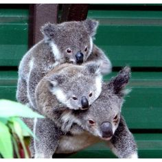 Koalas--One of my favorite animals. So cute, just adorable!