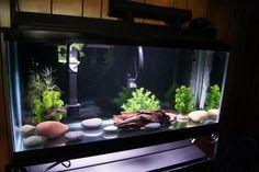 55 gallon planted bare bottom tank - Google Search