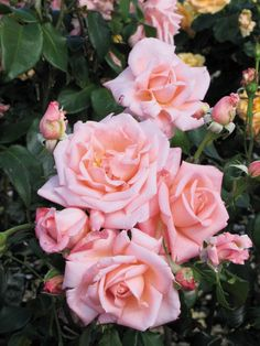'New Zealand' | Hybrid Tea Rose. Samuel Darragh McGredy IV (before 1988)