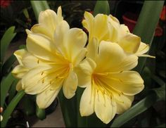 Clivia Register and Checklist African Plants
