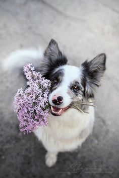 Border Collie is a famous flower lover. Dog Photos, Dog Pictures, Beautiful Dogs, Animals Beautiful, Cute Baby Animals, Animals And Pets, Cute Dogs And Puppies, Doggies, Collie Dog
