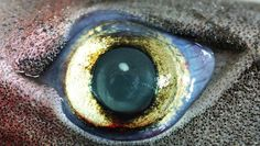 I Can See You: Bioluminescent Sharks Have Glow-In-The-Dark Eyes - The Daily Catch