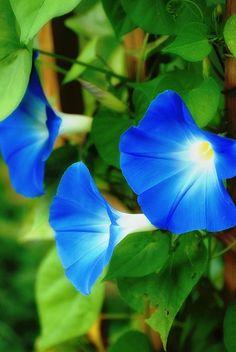 blue morning glories