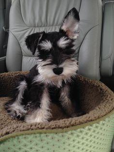 Mini schnauzer pup