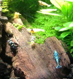 Blue Bolt, Shadow Panda, Crystal Black Shrimp