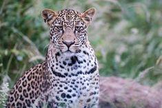 Où dormir dans le parc national Kruger ? - My Wildlife Parc National Kruger, Wildlife, Animals, Animales, Animaux, Animal, Animais