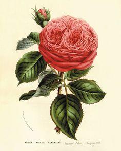 Rose Vintage flower Kunstdruck antike Wand-Dekor Blumendekor botanische Drucke Garden Druck Viktorianische Kunst Französisch Dekor Cottage art 8x10