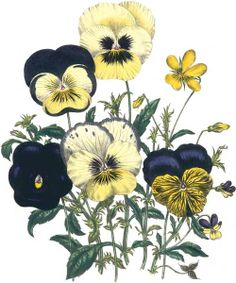 Viola -faithfulness- in the Language of Flowers. Jane Webb Loudon... More flowers and translations at- http://www.bbgreetings.com/flowers-andtranslations
