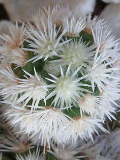 Mammillaria vetula subsp. gracilis 'Arizona Snowcap'  See its profile and more photos here ◢ http://www.worldofsucculents.com/mammillaria-vetula-subsp-gracilis-arizona-snowcap/