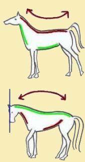 Rechtrichten van een paard