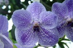 Vanda 'Thailand Beauty' - Flickr - Photo Sharing! Vanda Orchids, Orchid Flowers, My Flower, Flower Power, Garden Art, Garden Plants, Ways To Show Love, Alpine Plants, Natural Phenomena