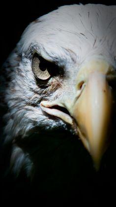 The Bald Eagle (Haliaeetus leucocephalus) Eagle Images, Eagle Pictures, Eagle Wallpaper, Animal Wallpaper, Beautiful Birds, Animals Beautiful, Eagle Drawing, Eagle Art, Birds Of Prey