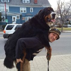 These 21+ Dogs have NO IDEA just how big they are! More at the link! #dogs #bigdogs #funnydogs