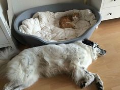 Cats and dogs have been fighting since the beginning of time and the race has been close so far until cats decided to take over dogs' beds and had no care about it whatsoever.
