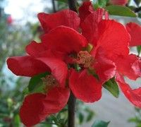 Crimson & Gold Flowering Quince Pruning