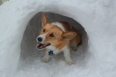 Laura Nicol, Harrisonburg 	 Little Muffin thinking she is a polar bear and protecting her igloo! #WHSVsnow