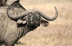 African buffalo, Tanzania