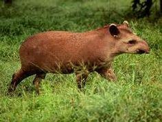 fotos de animais da amazônia - Pesquisa Google