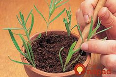 How to propagate lavender from cuttings - Works with rosemary too ! - Perfect have already tried this and now have a couple of nice looking lavender plants in the house! - Cheapest way to get a lavender plant or rosemary ! Planting Flowers, Herbs, Plants, How To Propagate Lavender, Growing Plants, Vegetable Garden, Lavender, Propagating Plants, Container Gardening