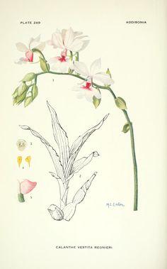 v.8 (1923) - Addisonia : - Biodiversity Heritage Library