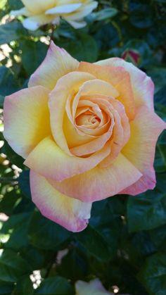 Moon light rose