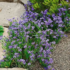 http://www.highcountrygardens.com/plant-finder/new/sisyrinchium-angustifolium-seeds.  I think that nursery in Southern Minnesota has these as plants.  I wonder how they would work as a grass substitute?