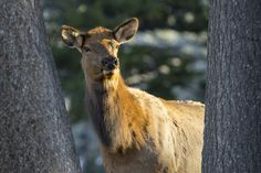 Cow elk, Yellowstone National Park, Wyoming (pinned by haw-creek.com)