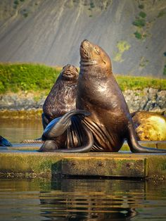 Kodiak is very populus in both the Harbor Seals, and Sea Lions. Photo by: Adina Preston