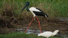 A Jabiru walks behind a Royal Spoonbill at Fogg Dam, outside of Darwin. We saw quite a few crocs there too.