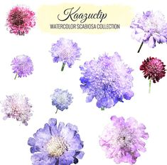 Watercolor Scabiosa Collection  Commercial and by kaazuclip