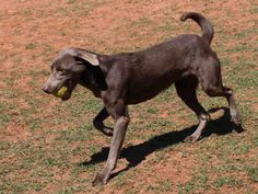 Tuesdays Tails:  Adopt this Weimaraner Mix!   The shelter people say I'm a high energy dog and that I would do good with an active family!   If you're looking for a dog that will go running with you, I'm the one!  I would make a great running partner!  I also love to play fetch!   I'm a sweet, beautiful girl that would love to have a family to call my own.    Just call the Edmond Animal Shelter at (405) 216-7615 to find out more about me, or better yet…come by and meet me!