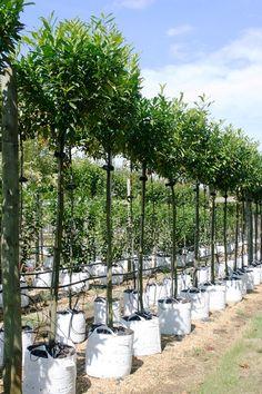 Prunus laurocerasus Caucasica in summer on the Barcham Trees nursery