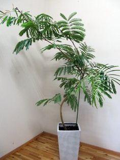 Amazon.co.jp: エバーフレッシュ/170cm前後(陶器鉢): ホーム&キッチン Fern Plant, Plants, Fern, Plant, Planets