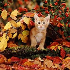 View top-quality stock photos of Ginger Kitten Among Autumn Beech Leaves And Cotoneaster Berries The Kitten Is Polydactyl He Has Extra Toes. Find premium, high-resolution stock photography at Getty Images. Ginger Kitten, Ginger Cats, Animals And Pets, Baby Animals, Cute Animals, Cute Kittens, Cats And Kittens, Crazy Cat Lady, Crazy Cats