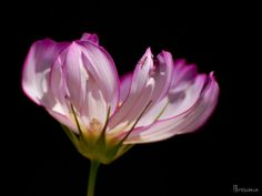 Cosmos bipinnatus (c) Florescence