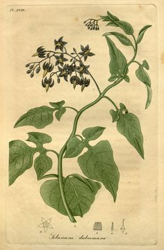 bittersweet nightshade (Solanum dulcamara, Solanaceae). Public domain image from American Medical Botany by Jacob Bigelow, 1817-1820. BHL.