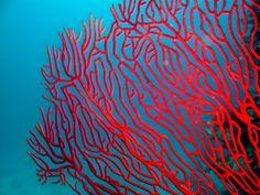 Gorgone corail | #Corail #Coral #Reefs