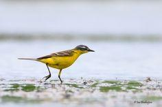 Gepind vanaf vroegevogels.vara.nl - Gele Kwikstaart