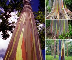 Synapse Science Magazine: Weird and Wonderful: The Technicolor tree