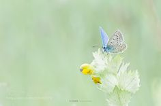 Azuré by wildstar38 #nature #photooftheday #amazing #picoftheday