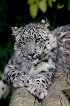 Snow leopard cub by wwmike on Flickr